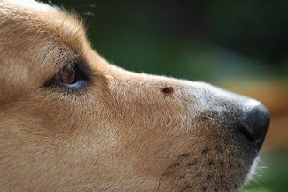 Kutyával jössz a Tisza-tóhoz? Sok a kullancs, itt vannak az infok mire figyelj, kit keress, ha bajba kerülsz