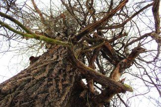Túra a 100 éves fához a Tisza-tó medrében – Tiszafüred