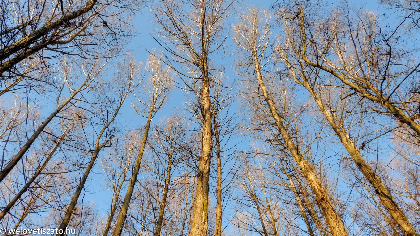mocsári ciprus erdő