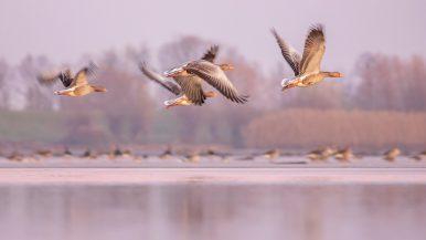 Liba, lilik, kacsa – madárrajoktól hangos a Tisza-tó
