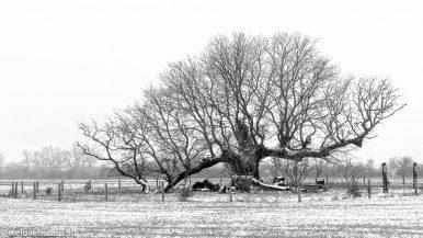 A tiszaigari 400 éves Mátyás király-fa története