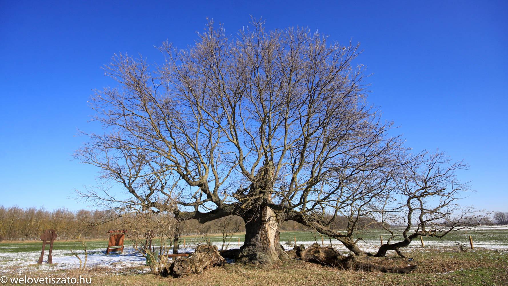 Tiszaigari Mátyás király fa