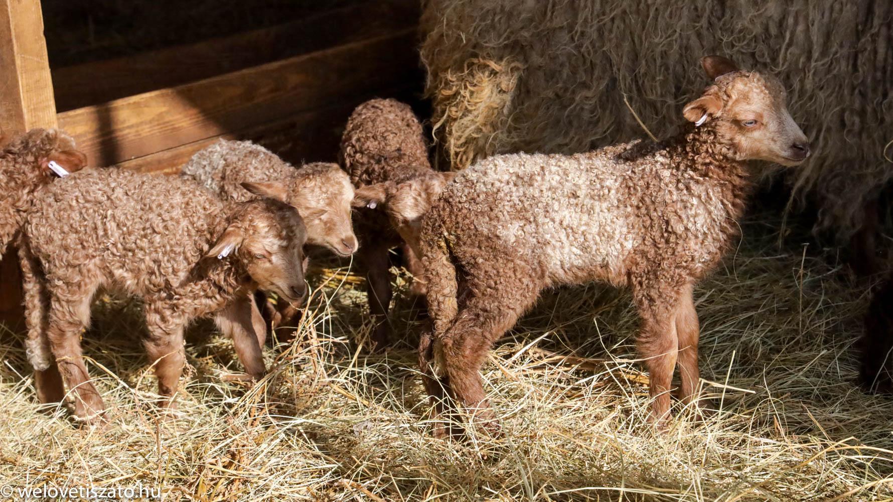 barna racka bárányok