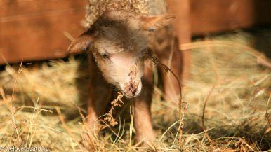 Juh vagy birka? Több száz racka bárány születik a napokban