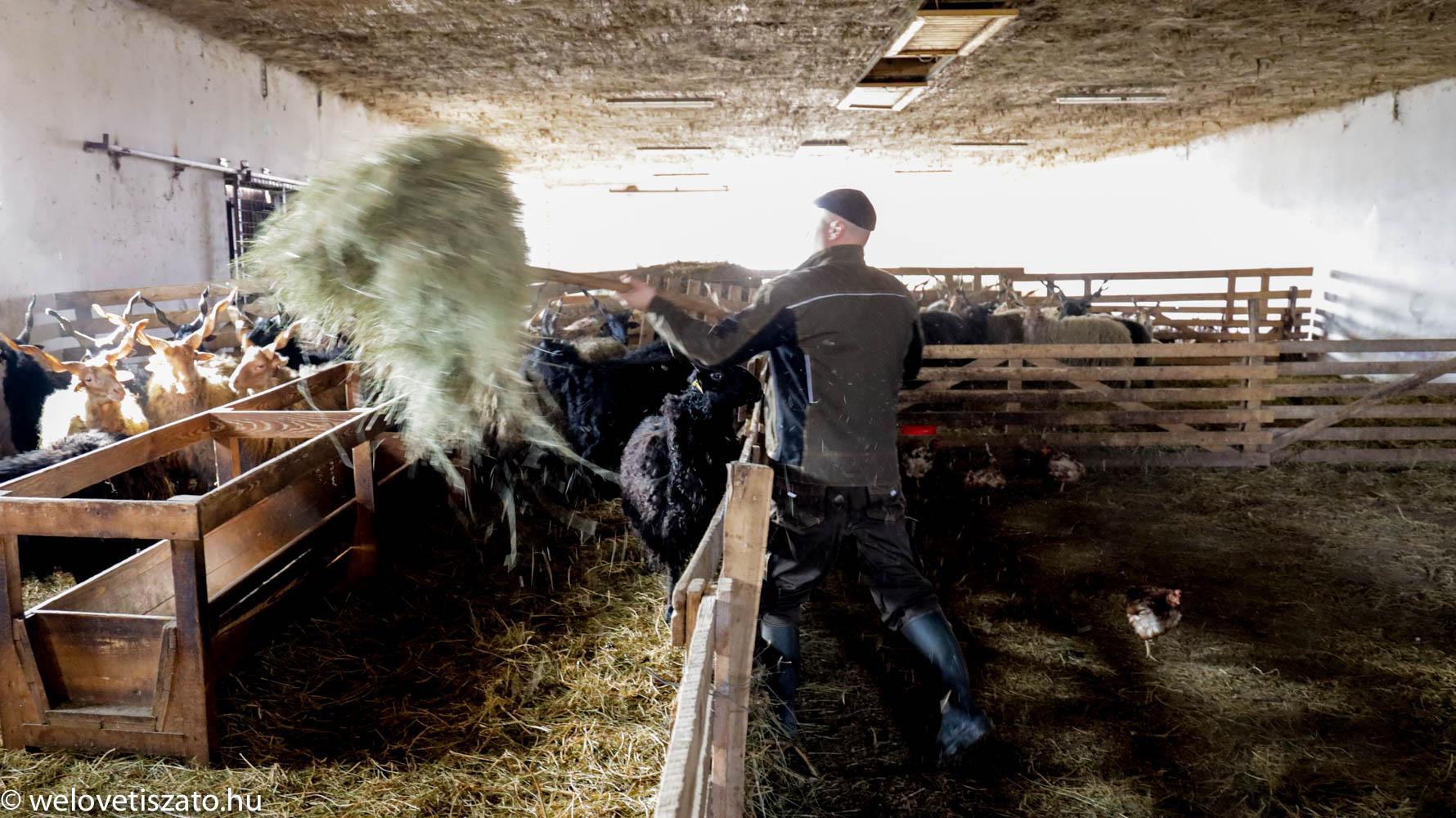a racka kosok az anyajuhoktól és bárányoktól távol